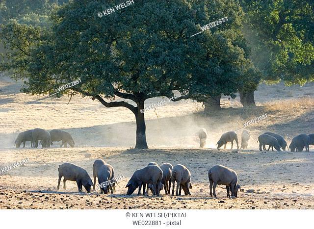 Grazing pigs. Sierra Morena, Huelva province. Andalucía, Spain