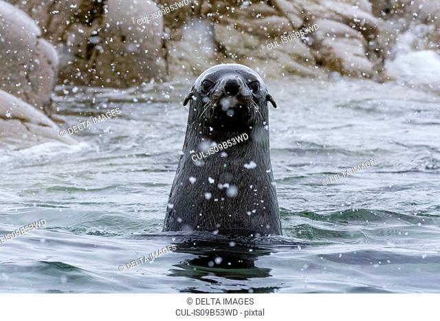 Portrait of Antarctic fur seal (arctocephalus gazella), Portal Point, Antarctica