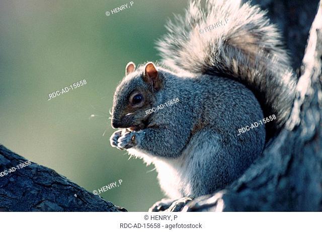 Grey Squirrel Montreal Quebec Canada Sciurus carolinensis side