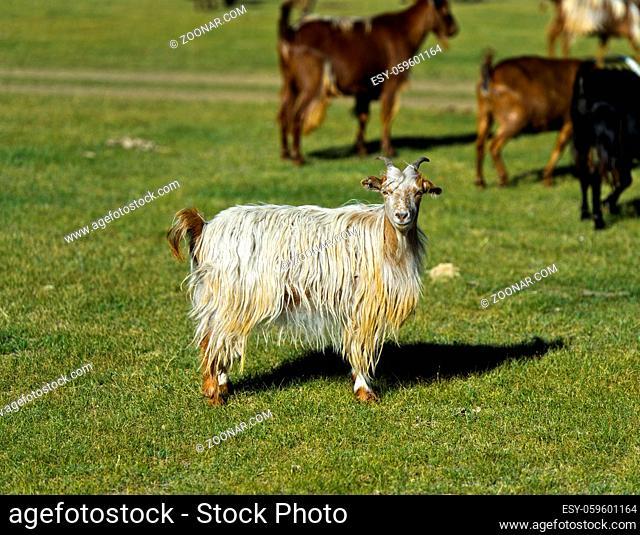 Kashmirziege, Orchon-Tal, Mongolei / Cashmere goat, Orkhon Valley, Mongolia