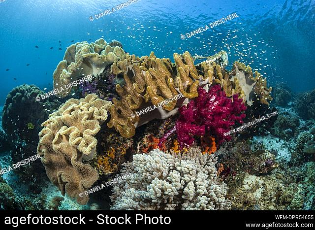 Leather Corals in Coral Reef, Sarcophyton sp., Raja Ampat, West Papua, Indonesia