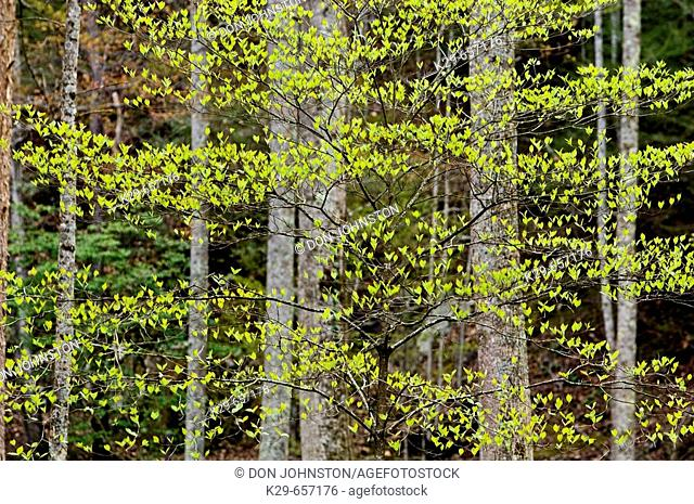 Emerging foliage on dogwood with deciduous tree trunks. Great Smoky Mountains National Park, Tennessee