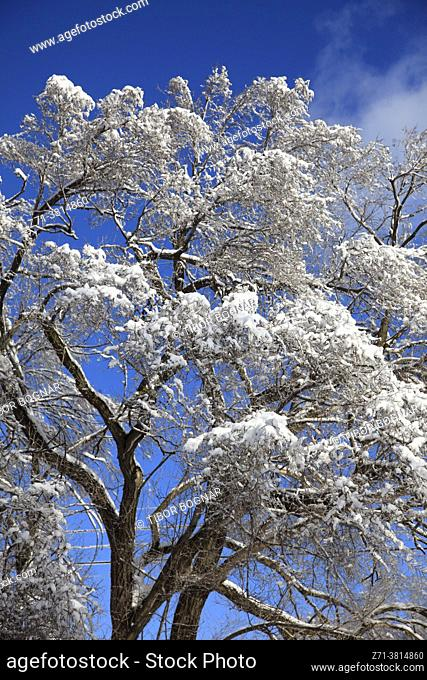 Winter, snow covered trees, Montreal, Canada,