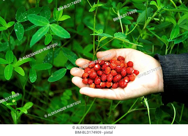 Hand of Caucasian woman holding berries