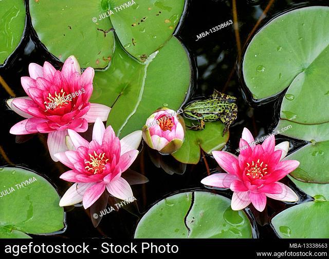 Pond frog ((Rana esculenta, new: Pelophylax kl. Esculentus) between the water lilies