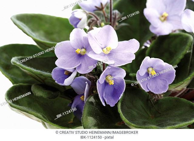 African Violet (Saintpaulia ionantha hybrids)