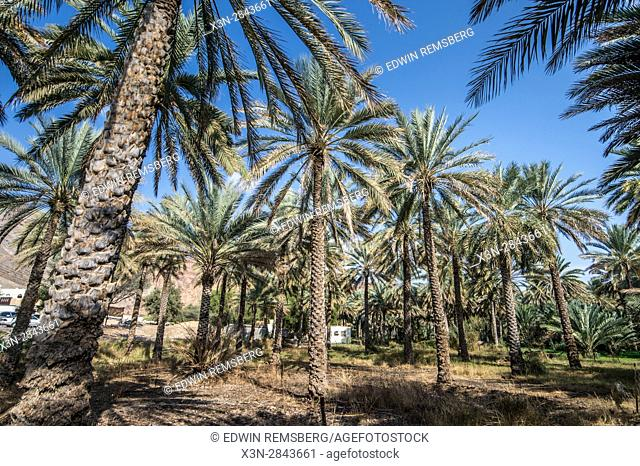 Tops of date palm trees in Birkat Al Mouz in Oman