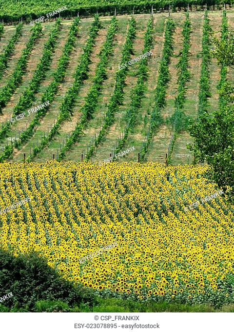 Fields with wine an sunflowers in Tuscany