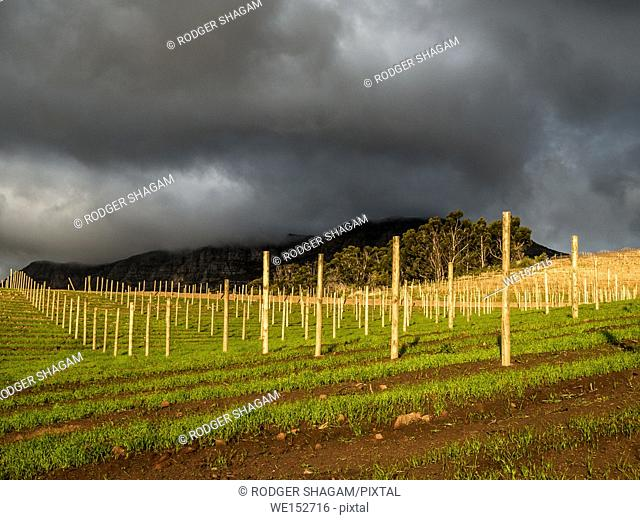 Wintering vines on a wine estate. Pruning vines and re-inforcing trellises takes place. New trellis being erected. Cape Town, South Africa