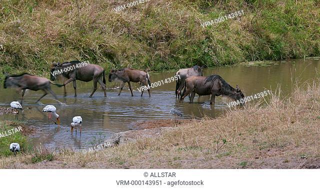 WILDEBEEST DRINKING; MAASAI MARA, KENYA, AFRICA; 04/09/2016
