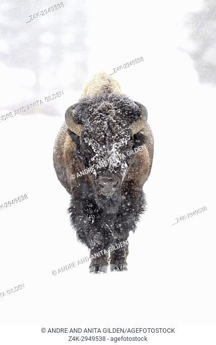Bison (Bison bison) bull, walking in a snowstorm, looking at camera, Yellowstone National Park, Montana, Wyoming, USA