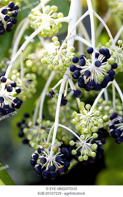 Japanese aralia Black and green ripening fruit growing in clusters on the branch of the plant