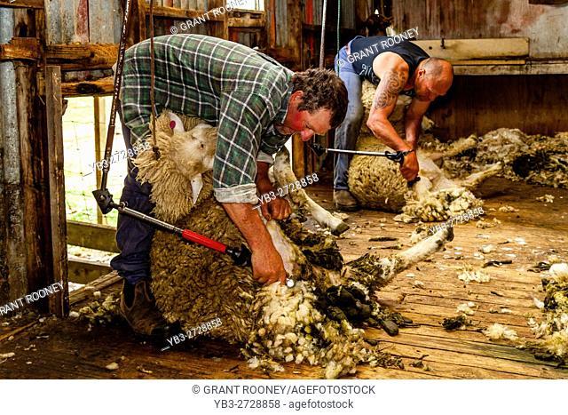 Sheep Crotching At A Sheep Farm, Pukekohe, New Zealand