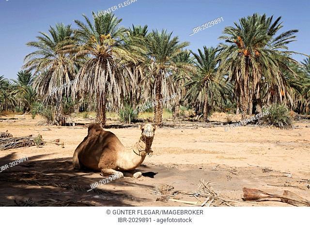 Dromedary (Camelus dromedarius) sitting underneath a date tree (Phoenix) in an oasis at Ksar Ghilane, Sahara, Tunisia, Maghreb region, North Africa, Africa