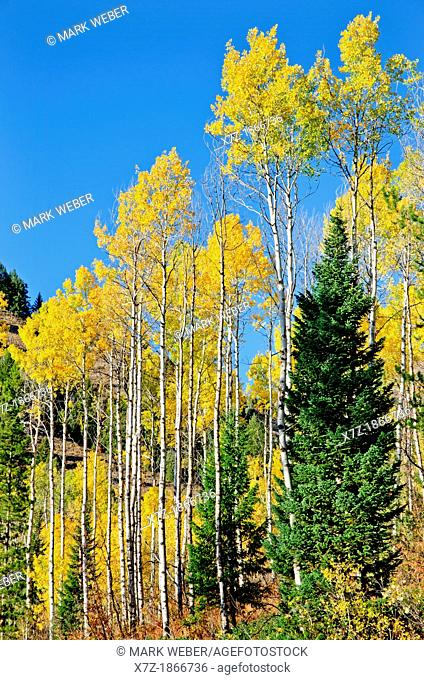 Aspen trees and Fall colors at Palisades Reservoir near Indian Creek and the town of Palisades in eastern Idaho