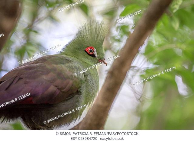 Knysna's turaco on a branch in the forest in South Africa