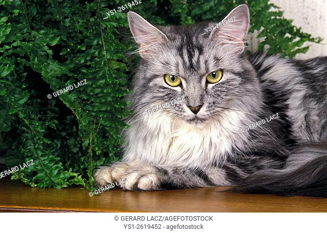 Silver Tabby Maine Coon, Adult laying near House Plant