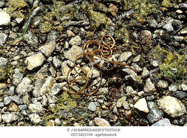 Horsehair worm (Gordius sp. ). This photo was taken in Alt Emporda, Girona province, Catalonia, Spain