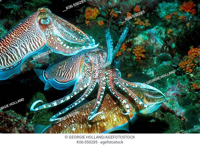 Pharao cuttlefish (Sepia pharaonis), male guarding egg laying female being approached by rival male.  Andaman Sea, Thailand