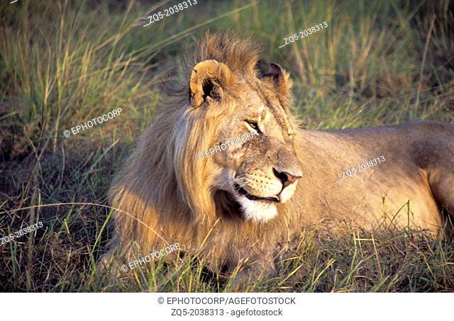 African Lion (Panthera leo) in Ngorongoro Conservation Area, Tanzania, AFRICA