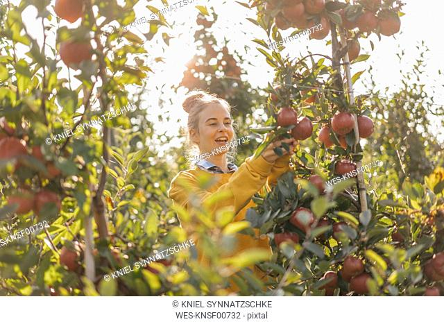 Young woman harvesting apples