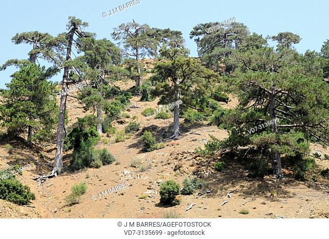 Turkish black pine (Pinus nigra caramanica) is a coniferous tree native to Turkey. This photo was taken in Taurus Mountains, Turkey