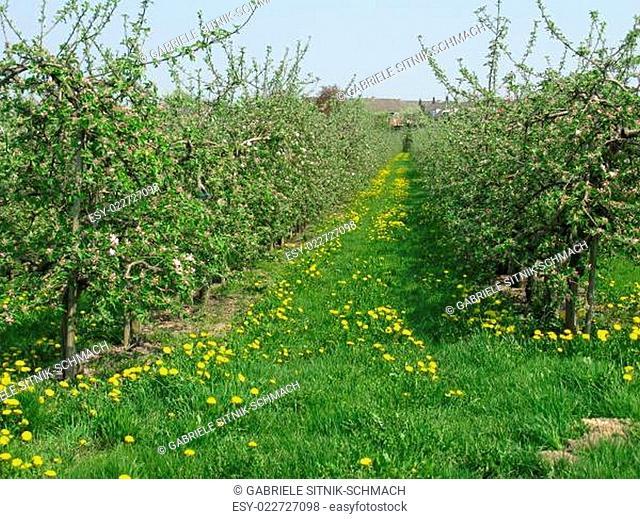 Apfelbäume und blühende Wiese