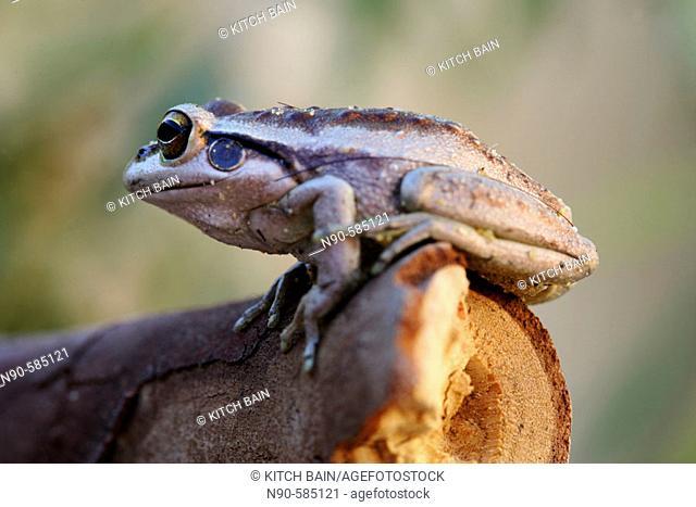 Frog (Litoria moorei), Australia