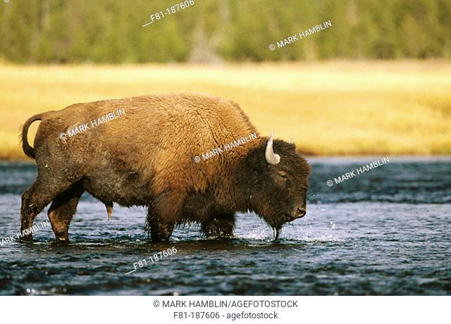 Bison (Bison bison). Yellowstone NP. Wyoming. USA