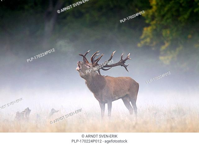 Red deer (Cervus elaphus) stag bellowing in grassland in the mist at forest's edge during the rut in autumn