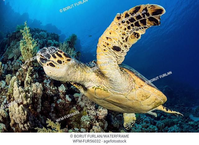 Green Sea Turtle, chelonia mydas, Ras Muhammad, Red Sea, Sinai, Egypt