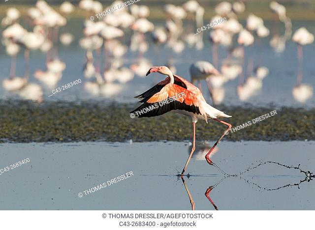 Greater Flamingo (Phoenicopterus roseus) - Running at the Laguna de Fuente de Piedra near the town of Antequera. This is the largest natural lake in Andalusia...