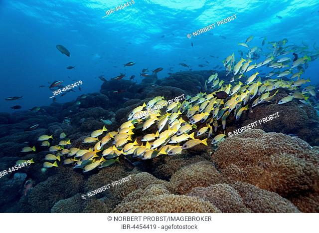 Bluestripe snapper (Lutjanus kasmira), swimming over coral reef, flowerpot coral (Goniopora lobata), Lhaviyani Atoll, Maldives