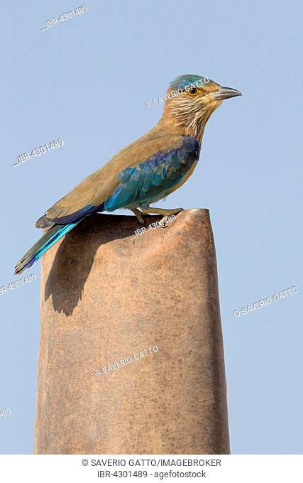 Indian Roller (Coracias benghalensis) perched on post, Qurayyat, Muscat Governorate, Oman