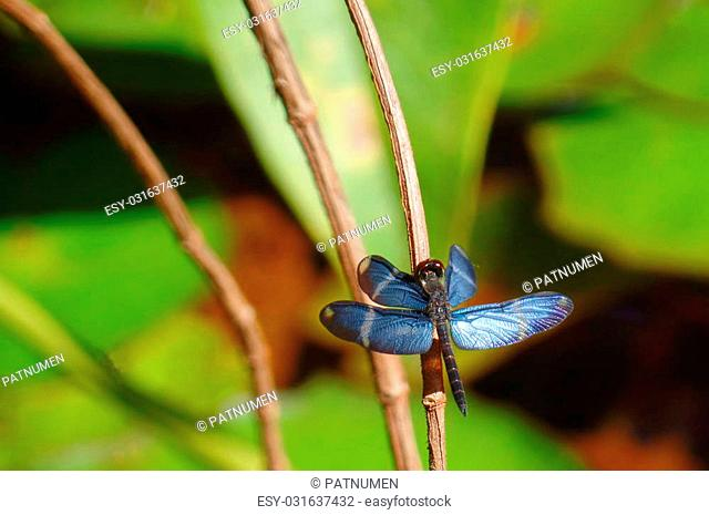 beautiful blue dragonfly drying its wings in a small branch in Canaima, Venezuela