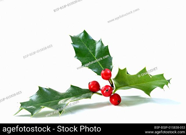 Christmas Holly With Red Berries. Traditional festive decoration. Holly branch with red berries on white