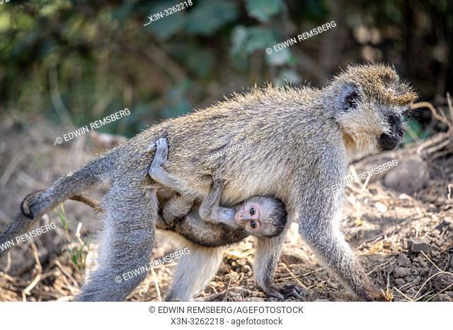 Vervet monkey with infant (Chlorocebus pygerythrus) Nakuru National Park, Kenya
