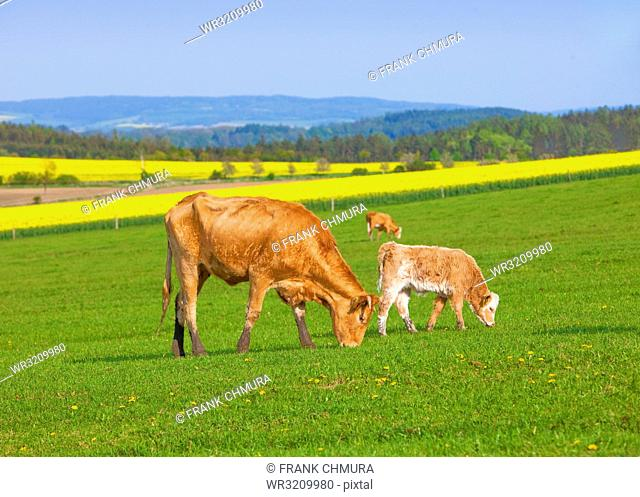 Cows Grazing on Grass Field in Spring