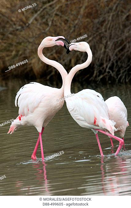 Fighting. Greater Flamingo (Phoenicopterus ruber). Bouches du Rhone. France