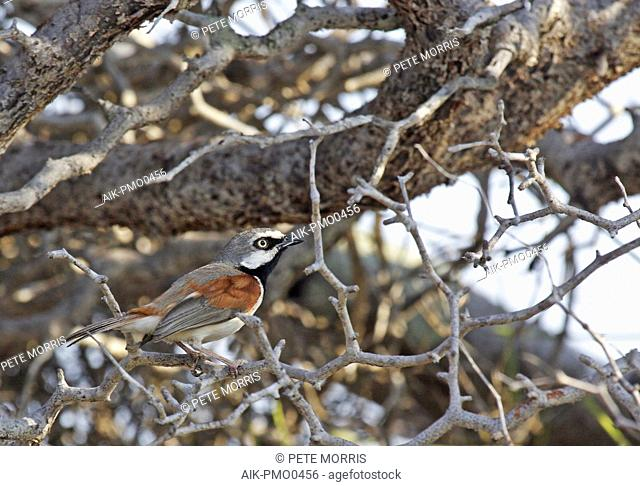 Male Red-shouldered Vanga (Calicalicus rufocarpalis) sitting in a bush in dry woodland of western Madagascar