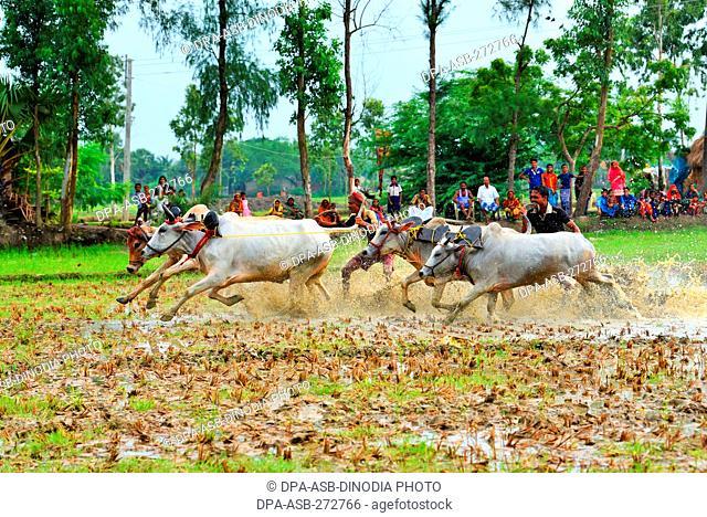 Moichara cattle race festival Herobhanga village, Canning railway station, West Bengal, India, Asia