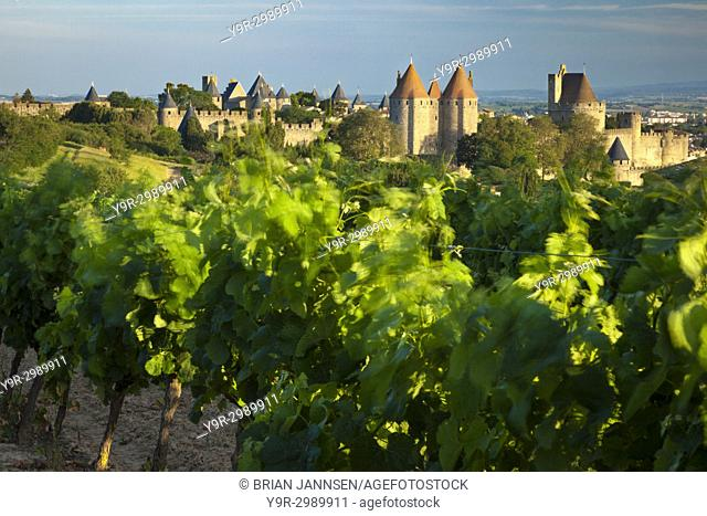 Blowing grape vines in early morning with the medieval town of Carcassonne beyond, Languedoc-Roussillon, France