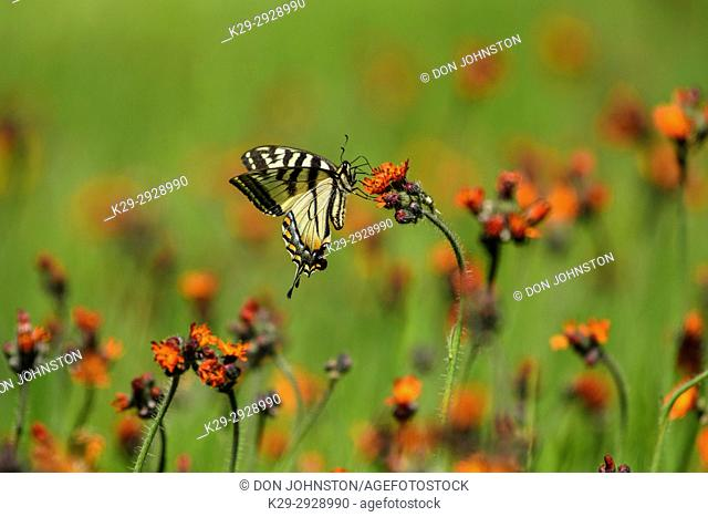 Canadian tiger swallowtail (Papilio canadensis) Nectaring orange hawkweed flowers, Greater Sudbury, Ontario, Canada