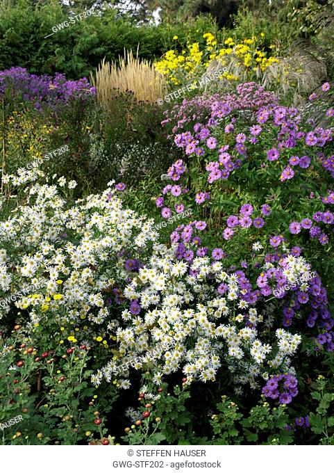 ASTER IN ASSOCIATION