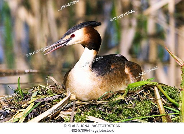 Great Crested Grebe (Podiceps cristatus) brooding on nest
