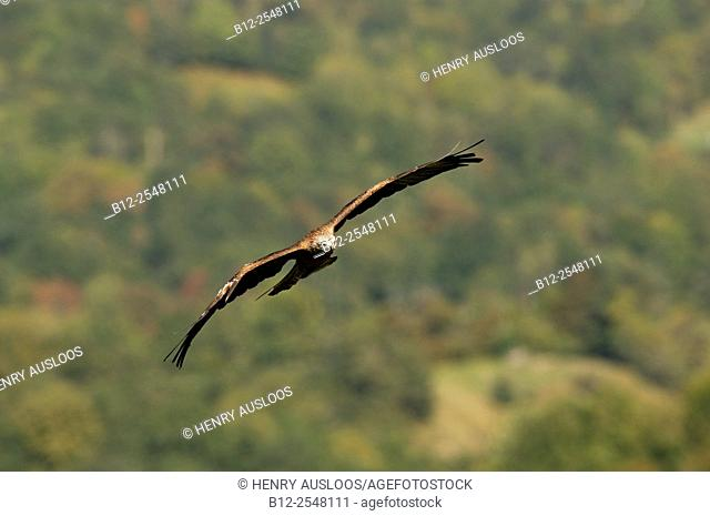 Black Kite (Milvus migrans), flight, France