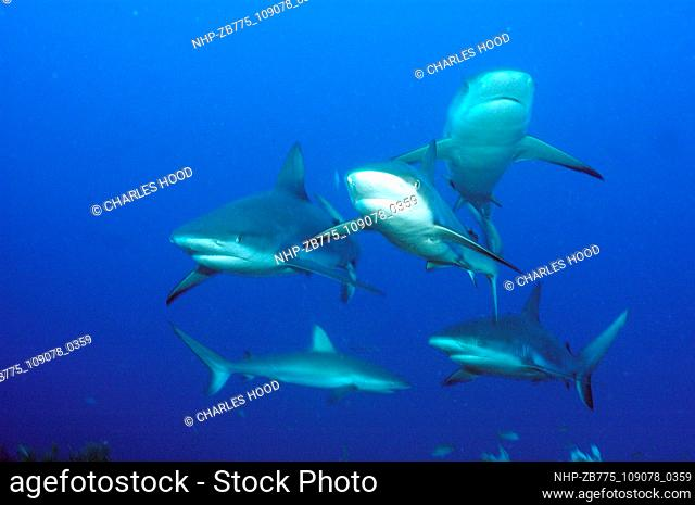 5 Caribbean reef sharks  Date: 10/11/2003  Ref: ZB775-109078-0359  COMPULSORY CREDIT: Oceans Image/Photoshot
