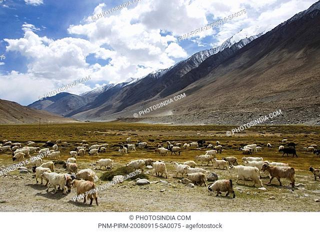 Flock of sheep grazing on a field, Ladakh, Jammu and Kashmir, India