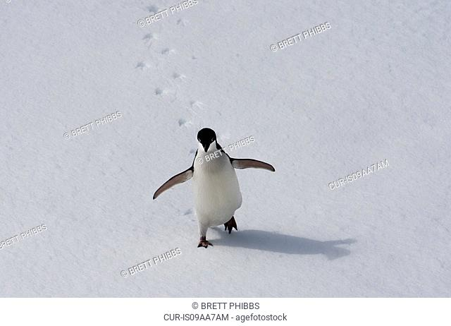 Adelie penguin walking on the ice floe in the southern ocean, 180 miles north of East Antarctica, Antarctica