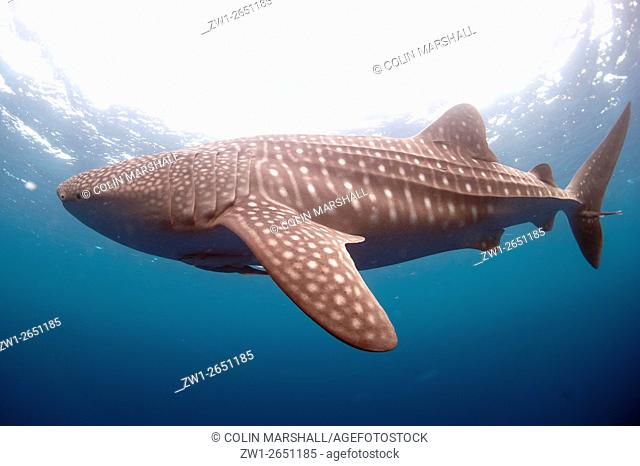 Whale Shark (Rhincodon typus) with Remora and sun in background, Cenderawasih (Bird of Paradise) Bay, West Papua, Indonesia